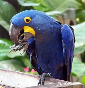 animais-em-extincao-brasil-290x300