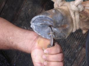 casqueamento-correcao-aprumos-bovinos