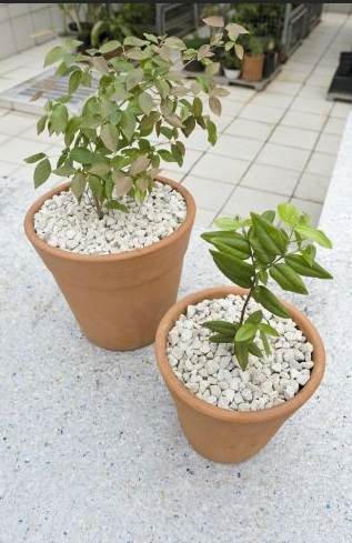 Como plantar árvores em vasos (Foto:Divulgação).