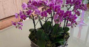 como cuidar de orquidea phalaenopsis